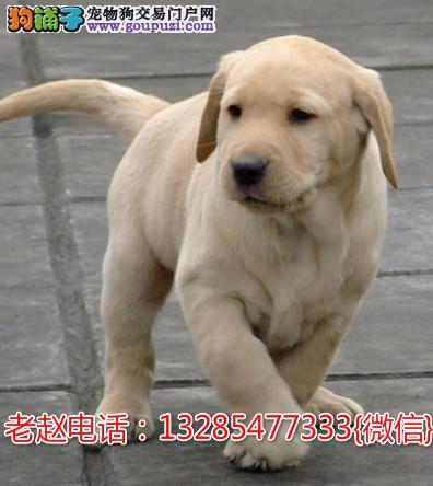 拉布拉多幼犬 保纯种 三针疫苗齐全 健康血统有保障