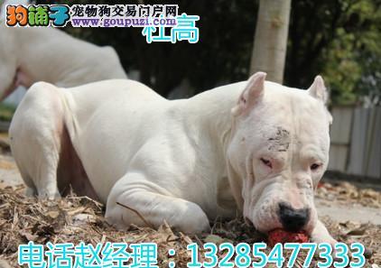 国内最大杜高犬繁殖厂山东老赵犬舍