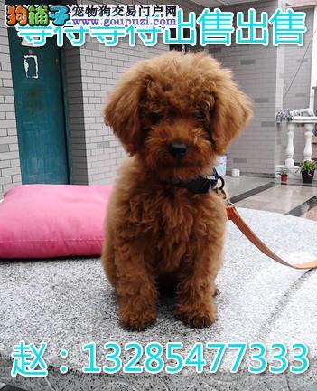 泰迪犬价格 小泰迪便宜出售