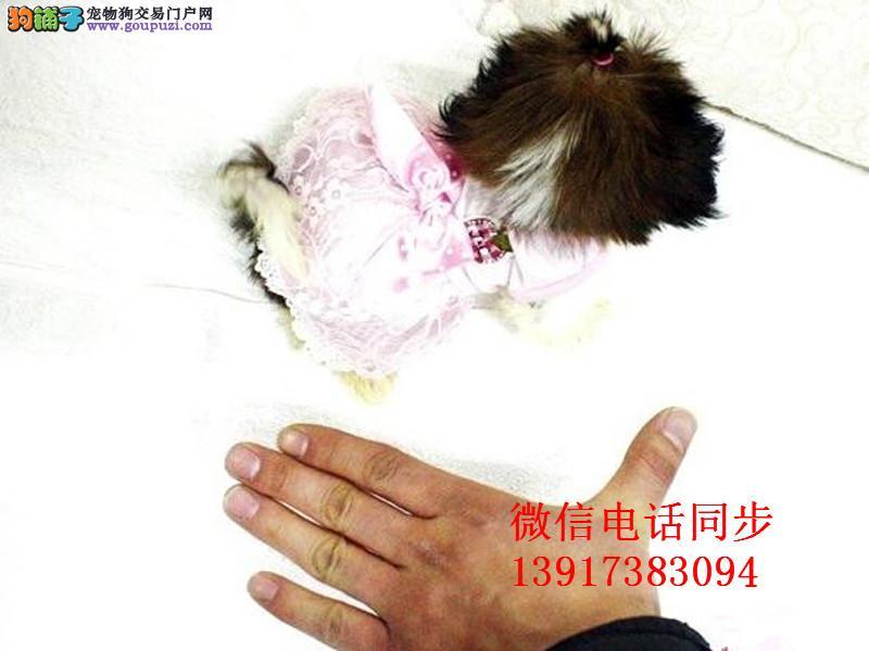 正中纯种西施犬 货比三家 小心上当 健康纯种保证