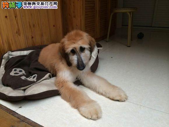 CKU认证犬舍 专业出售极品 阿富汗猎犬幼犬签订终身协议