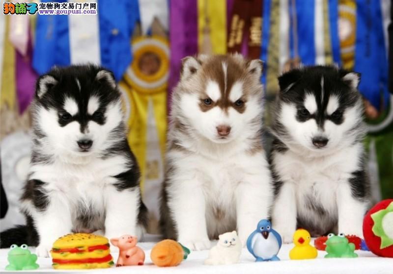 犬业直销 顶级哈士奇犬价格合理健康纯度保障