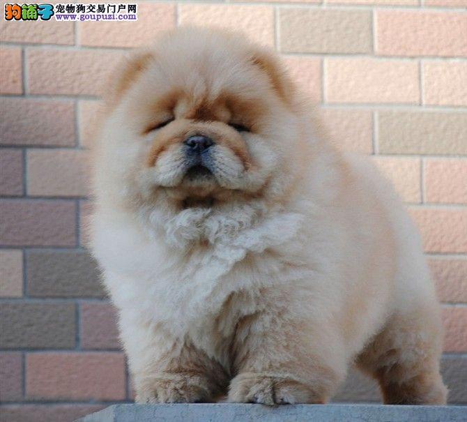 犬业直销 顶级松狮犬价格合理健康纯度保障