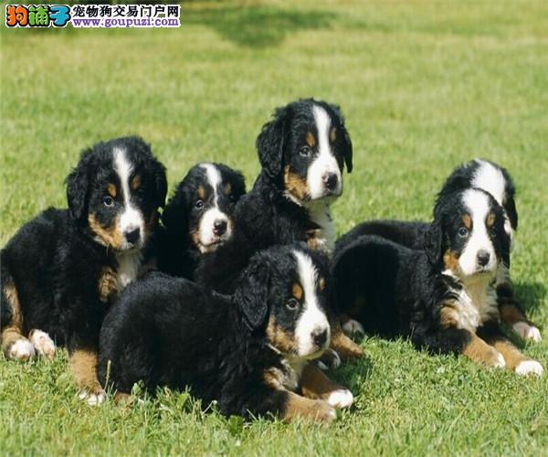 犬业直销 顶级伯恩山犬价格合理健康纯度保障