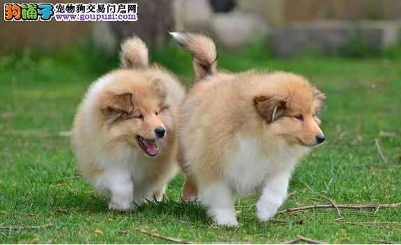 犬业直销 顶级喜乐蒂犬价格合理健康纯度保障