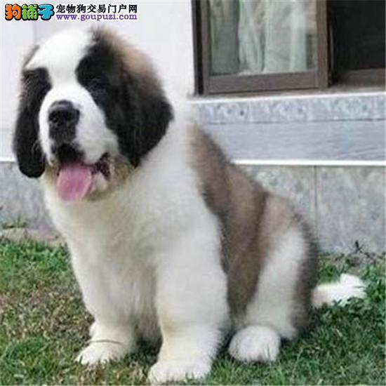 犬业直销 顶级圣伯纳犬价格合理健康纯度保障