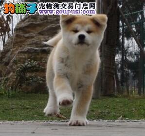 犬业直销 顶级秋田犬价格合理健康纯度保障