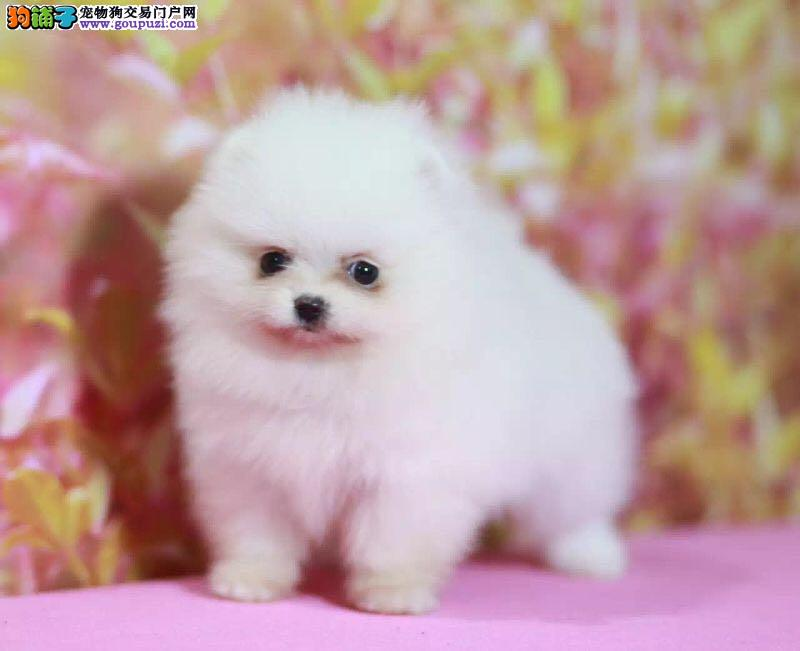 犬业直销 顶级博美 俊介犬价格 健康纯度保障