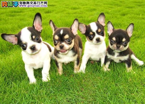 犬业直销 顶级吉娃娃犬价格合理健康纯度保障