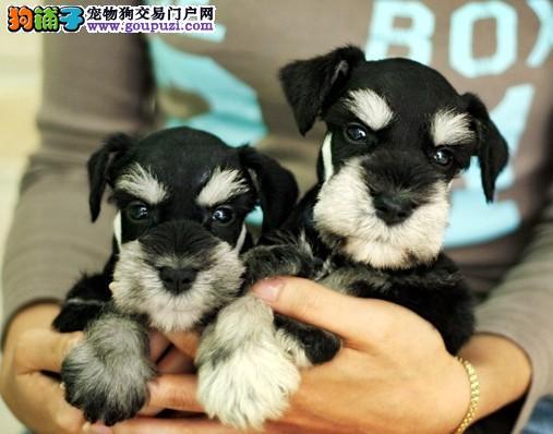 犬业直销 顶级雪纳瑞犬价格合理健康纯度保障