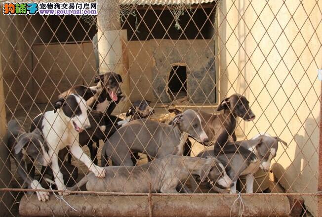 犬业直销 顶级格力犬价格合理健康纯度保障