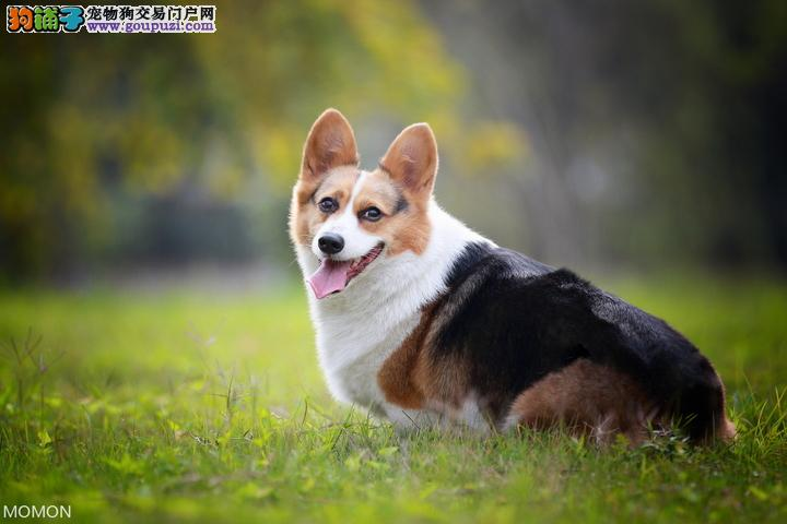 明星犬种一一柯基犬,柯基,柯基犬舍,最好的柯基
