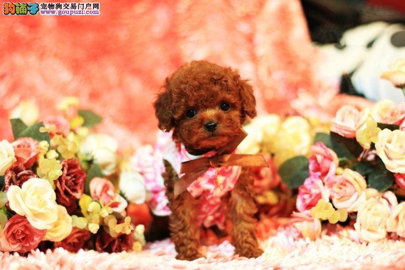 玩具也是狗狗一泰迪熊犬,玩具狗,北京顶级泰迪熊犬舍