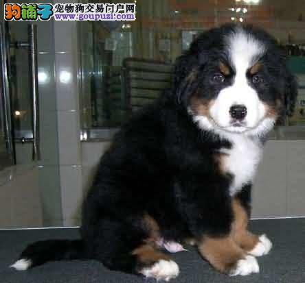 纯种健康的伯恩山犬出售了公母都有欢迎选购