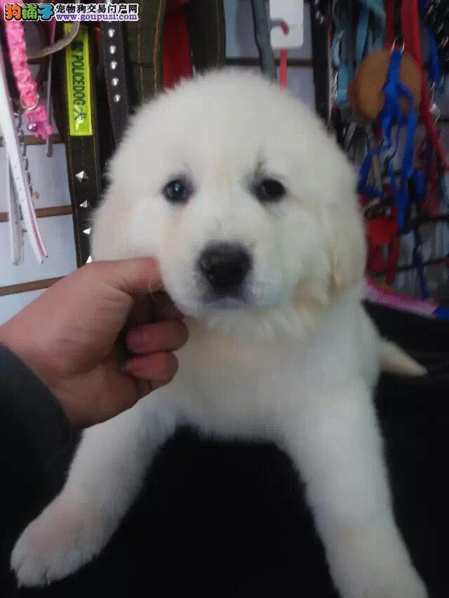 大白熊幼犬 品相血统纯正 保证健康 售后有保障