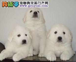 正规犬舍繁殖纯种大白熊幼犬 另有种公对外交配