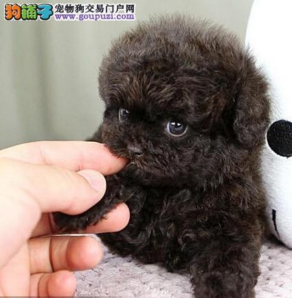 专业犬舍繁殖出售纯种优秀福州泰迪犬 有防疫证明