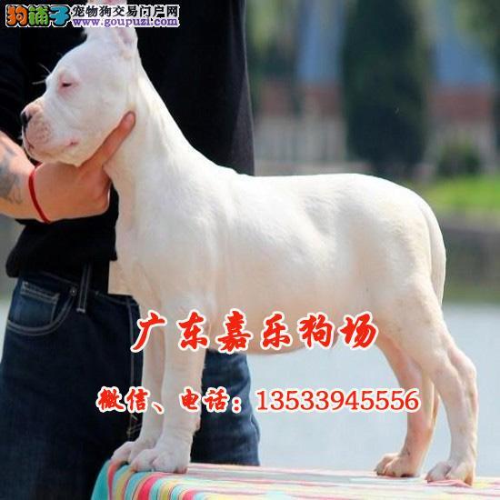 顶级纯种杜高幼犬 杜高犬 可打猎野猪 广东嘉乐狗场