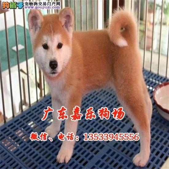 嘉乐狗场、高品质纯种日系秋田犬、可送货上门到家