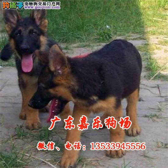 广东嘉乐养狗场 出售德国狼狗幼犬 顶级血统 优质品种