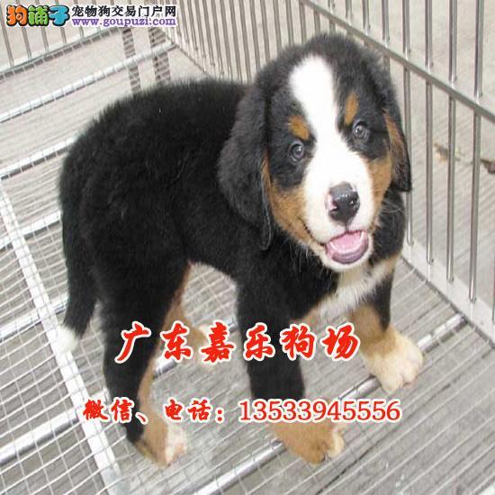嘉乐狗场繁殖伯恩山幼犬 品质优良 血统纯正 健康保障