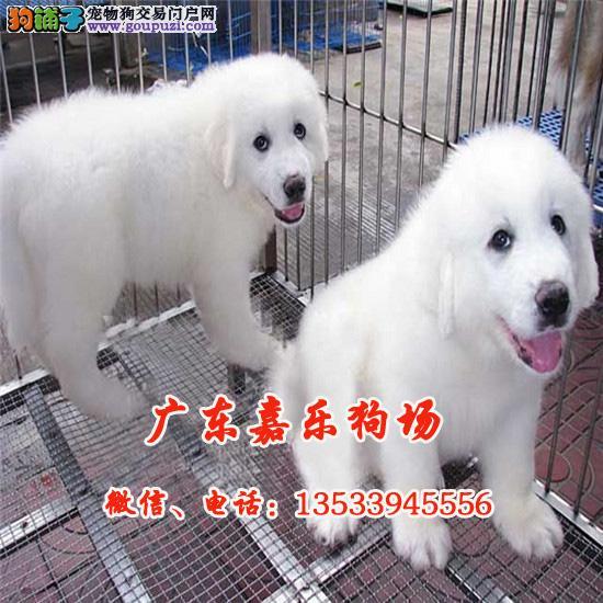 嘉乐狗场直销纯种大白熊幼犬、终身质保、包纯种健康