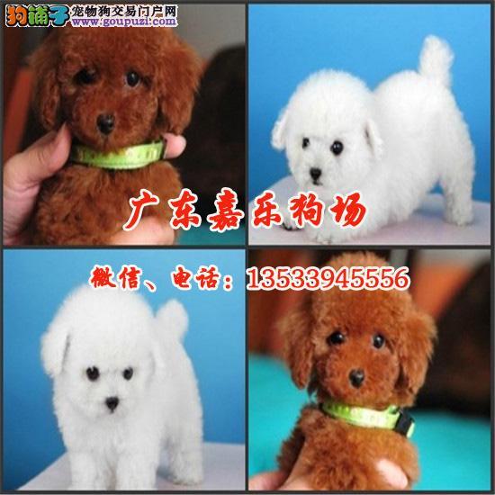 韩系精品 超小体泰迪熊 多颜色多挑选 保纯种包养活