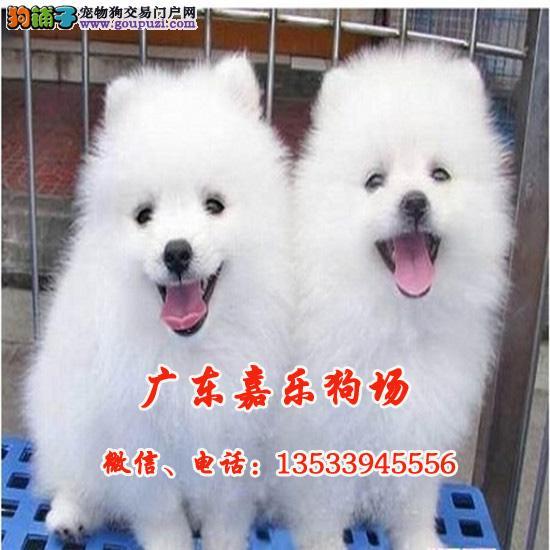高品质哈多利球版博美犬,白富美,高富帅的最佳选择