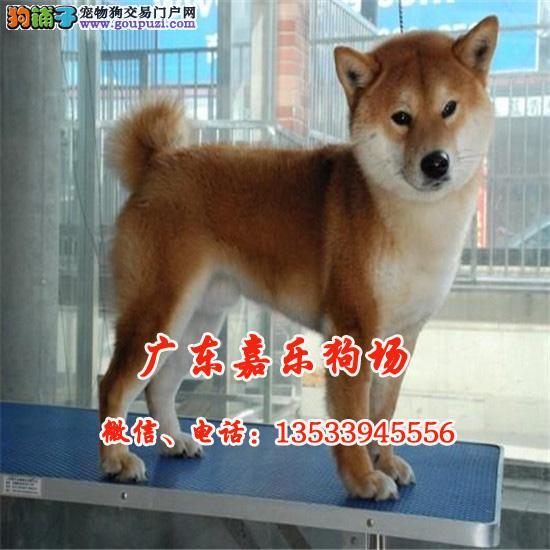 嘉乐专业柴犬养殖场 国外引进种犬 保纯种健康包养活