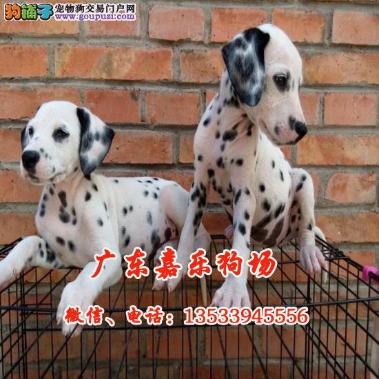 高端、大气、斑点狗,纯种繁殖,大麦町犬, 嘉乐狗场