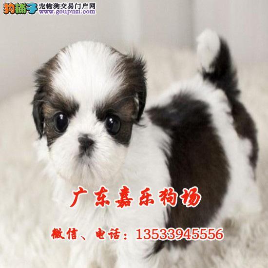 精品纯种小体西施犬,尊贵犬种,高端伴侣犬/玩赏犬
