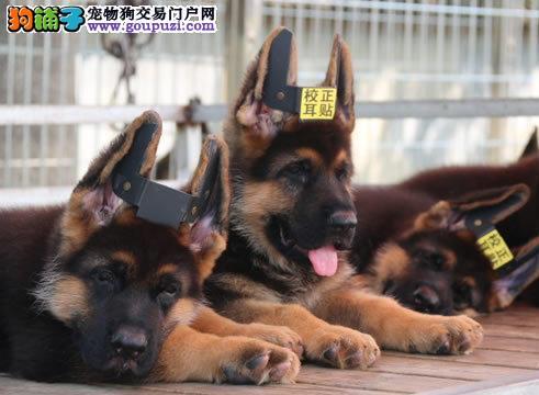 极品狼狗在这里、保障纯种和健康、十佳犬舍CKU认证