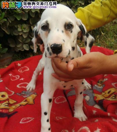 斑点狗幼崽出售中,纯度100%保证健康,签订终身合同