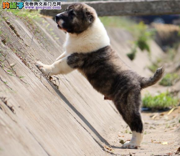 国际注册犬舍 出售极品赛级中亚牧羊犬幼犬签署质保合同