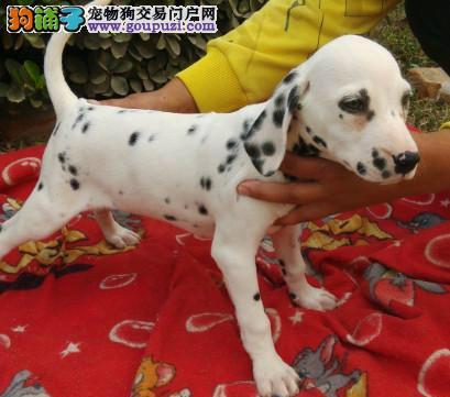 赛级斑点狗宝宝 一宠一证证件齐全 签订活体协议