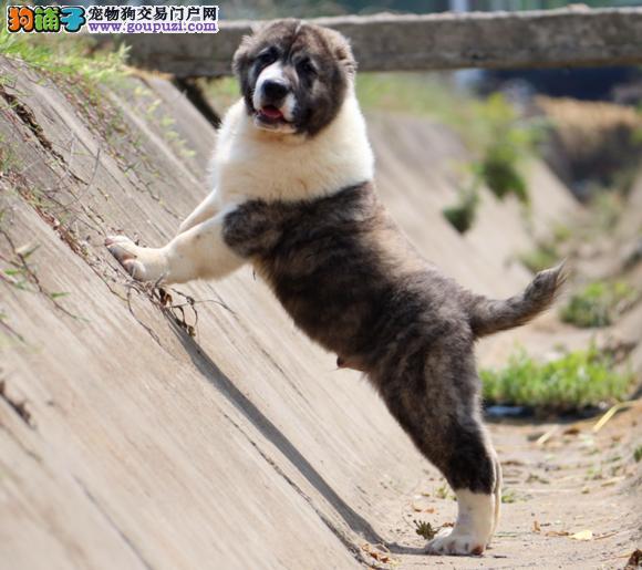繁殖基地出售多种颜色的中亚牧羊犬我们承诺售后三包