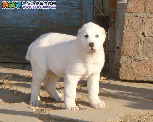 国际注册犬舍 出售极品赛级中亚牧羊犬幼犬加微信送用品