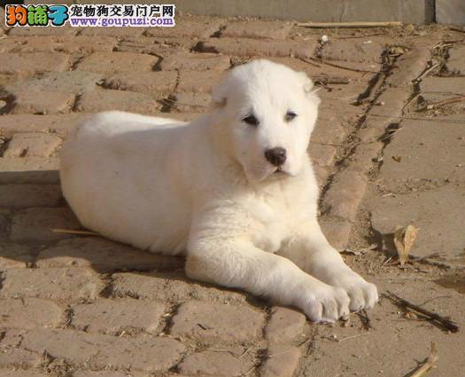太原出售中亚牧羊犬公母都有品质一流国际血统认证