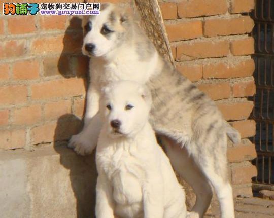 品质健康有保障济南中亚牧羊犬热卖中爱狗人士优先狗贩勿扰