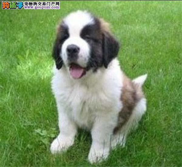 名犬繁殖基地出售纯种圣伯纳幼犬,可签健康质保协议