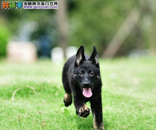 出售纯种狼犬,纯种血系,质保健康,多只可选,保售后