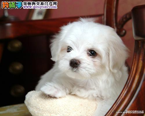 镇江CKU认证犬舍出售高品质马尔济斯品质血统售后均有保障