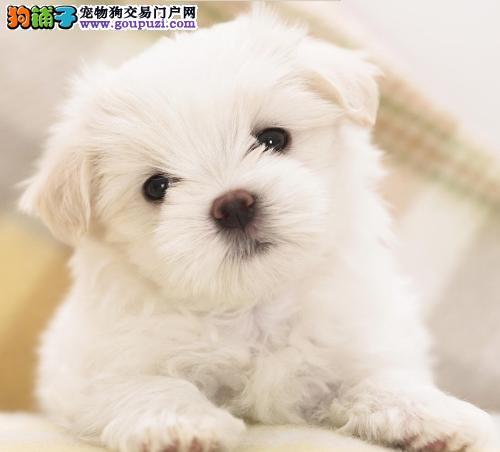 CKU犬舍认证广东出售纯种马尔济斯广东地区可包邮