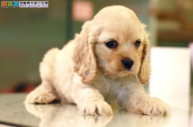 石家庄知名犬舍出售多只赛级可卡送用品送狗粮