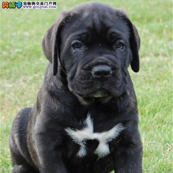 南京正规狗场犬舍直销卡斯罗犬幼犬办理血统证书