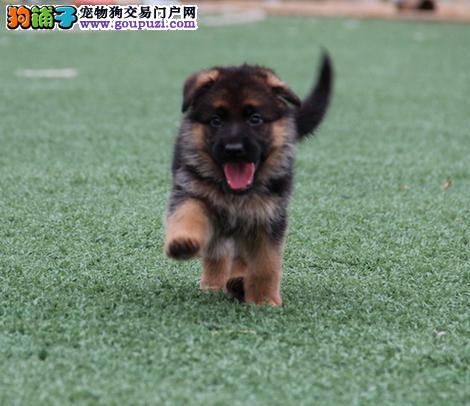 正规犬舍直销狼狗、世界名犬宠物狗、签协议、狼狗