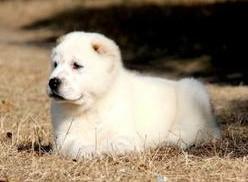 极品纯正的中亚牧羊犬幼犬热销中质保三年支持送货上门