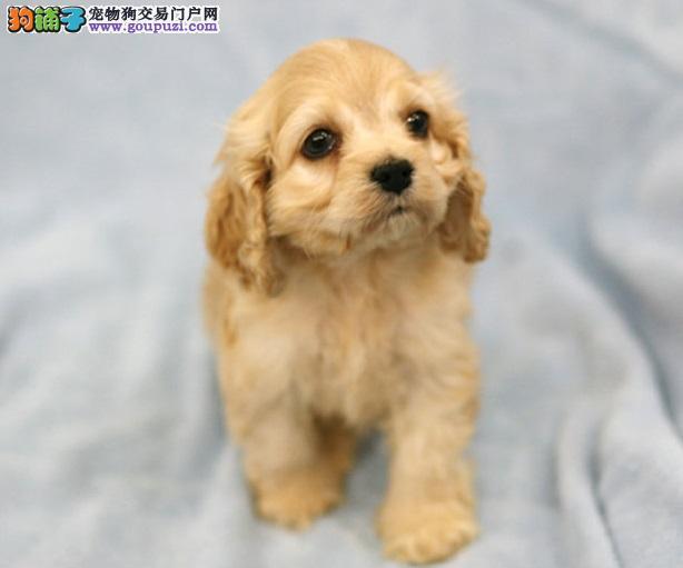 可卡犬宠物狗可卡犬广州可卡犬价格及图片