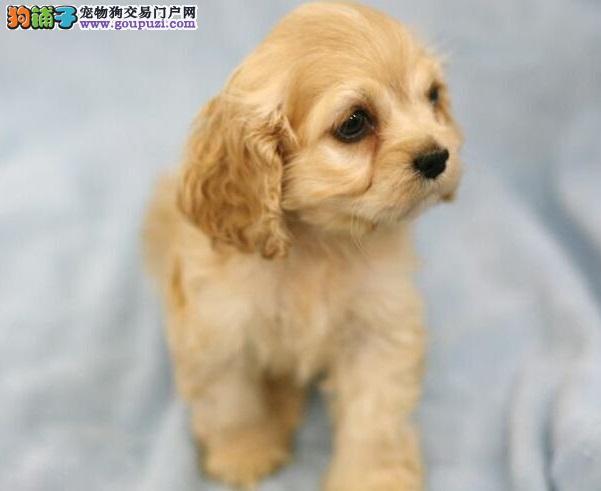 纯正活泼可爱的可卡幼犬 质量健康保证 疫苗驱虫已做过