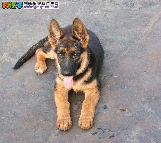 精品纯种狼狗出售质量三包微信咨询看狗狗视频